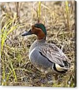 Greenwing Teal Acrylic Print