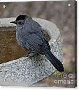 Grey Catbird Acrylic Print