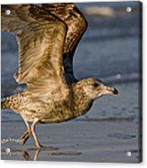 Gull Acrylic Print