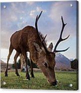 Highland Deer Acrylic Print