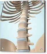 Human Spine Acrylic Print