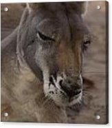 Kangaroos Acrylic Print