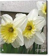 Large-cupped Daffodil Named Ice Follies Acrylic Print