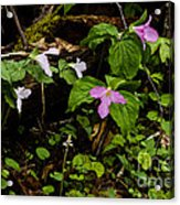 Large Flowered Trillium  Acrylic Print
