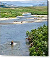 4-lay Of The Land Many Grizzly Bears In Moraine River In Katmai National Acrylic Print