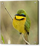Little Bee-eater Acrylic Print