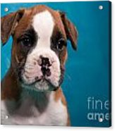 little Boxer dog puppy Acrylic Print