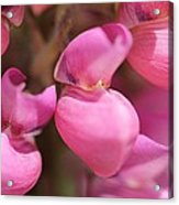 Lupine Named Gallery Pink Acrylic Print