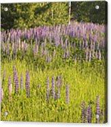 Maine Wild Lupine Flowers Acrylic Print