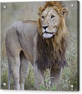 Male Lion Acrylic Print