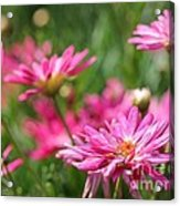 Marguerite Daisy Named Summer Song Rose Acrylic Print