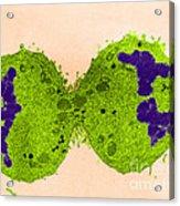 Mitosis, Late Telophase, Tem Acrylic Print