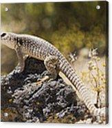 Mojave Desert Iguana Acrylic Print