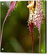 Orchid From Finca Dracula Acrylic Print