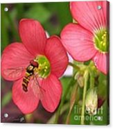 Oxalis Deppei Named Iron Cross Acrylic Print