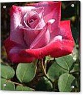 Paradise Rose Acrylic Print