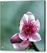 Pink Blossom Acrylic Print