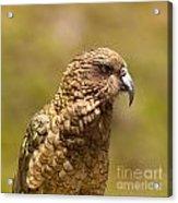 Portrait Of Nz Alpine Parrot Kea Nestor Notabilis Acrylic Print