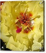 Portulaca Named Happy Hour Banana Acrylic Print