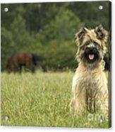 Pyrenean Sheepdog Acrylic Print