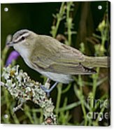 Red-eyed Vireo Acrylic Print