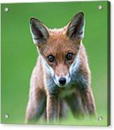 Red Fox Cub Portrait Acrylic Print