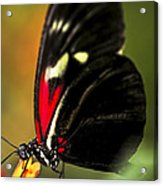 Red Heliconius Dora Butterfly Acrylic Print by Elena Elisseeva