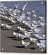 Royal Terns On The Beach At Indialantic In Florida Acrylic Print