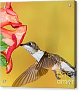 Ruby-throated Hummingbird Female Acrylic Print