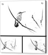 Ruby-throated Hummingbird - Immature Female - Black And White - Archilochus Colubris  Acrylic Print