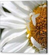 Shasta Daisy Named Paladin Acrylic Print