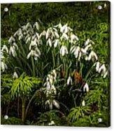 Snowdrop Woods Acrylic Print
