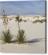 Soaptree Yucca In Gypsum Sand White Acrylic Print