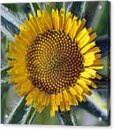 Spring Wild Flower Acrylic Print