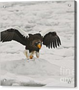 Stellers Sea Eagle Acrylic Print