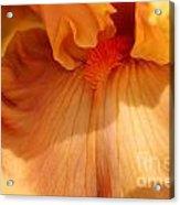 Tall Bearded Iris Named Penny Lane Acrylic Print