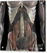 The Psoas Muscles Acrylic Print