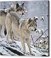 Timber Wolves Acrylic Print