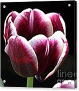 Triumph Tulip Named Jackpot Acrylic Print by J McCombie