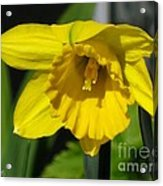 Trumpet Daffodil Named Exception Acrylic Print