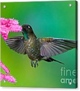 Tyrian Metaltail Acrylic Print