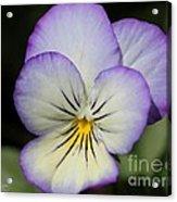 Viola Named Sorbet Lemon Blueberry Swirl Acrylic Print
