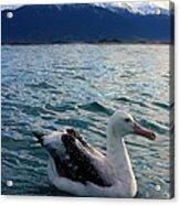 Wandering Albatross Acrylic Print
