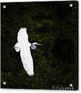 White Egret In Flight Acrylic Print