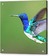 White-necked Jacobin Acrylic Print