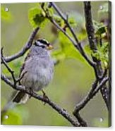 Whitecrowned Sparrow Acrylic Print