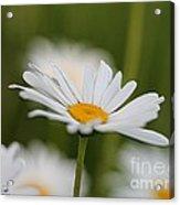 Wildflower Named Oxeye Daisy Acrylic Print