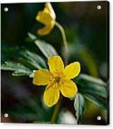 Yellow Wood Anemone Acrylic Print