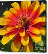 Zinnia Named Swizzle Scarlet And Yellow Acrylic Print