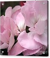 Zonal Geranium Named Tango Light Orchid Acrylic Print